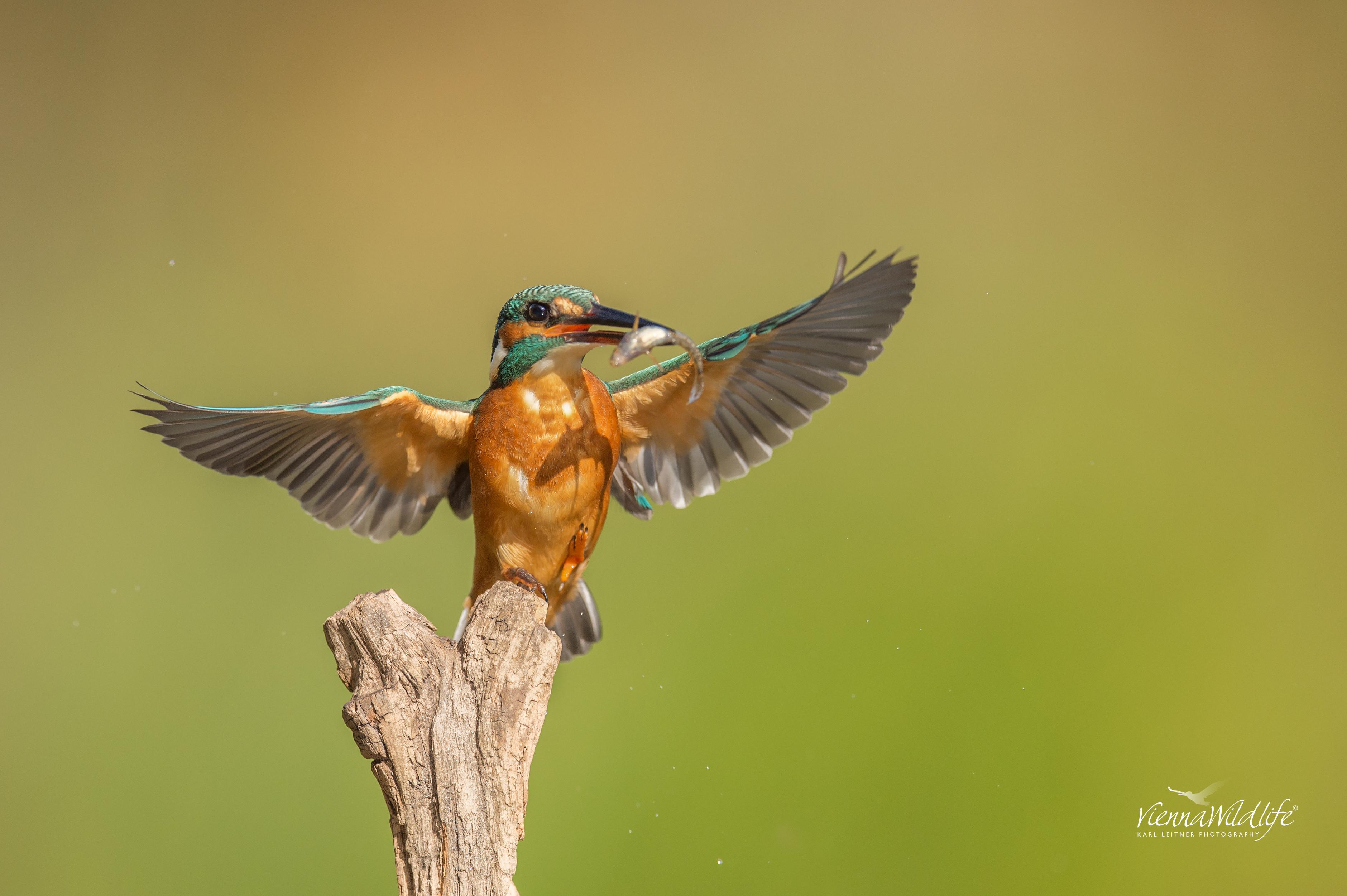 Eisvogel, Kingfisher, alcedo atthis, Naturfotoworkshop, Wien,