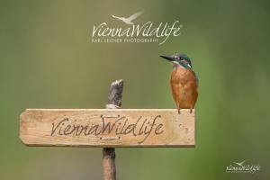 Eisvogel, Kingfisher, alcedo atthis