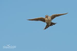 der Flug der Feldlerche