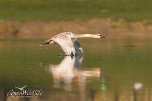 Flugschwan