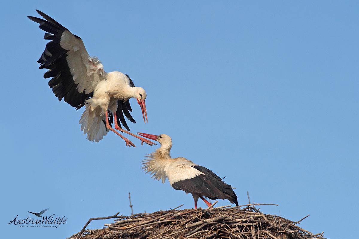 Stöche im Nest