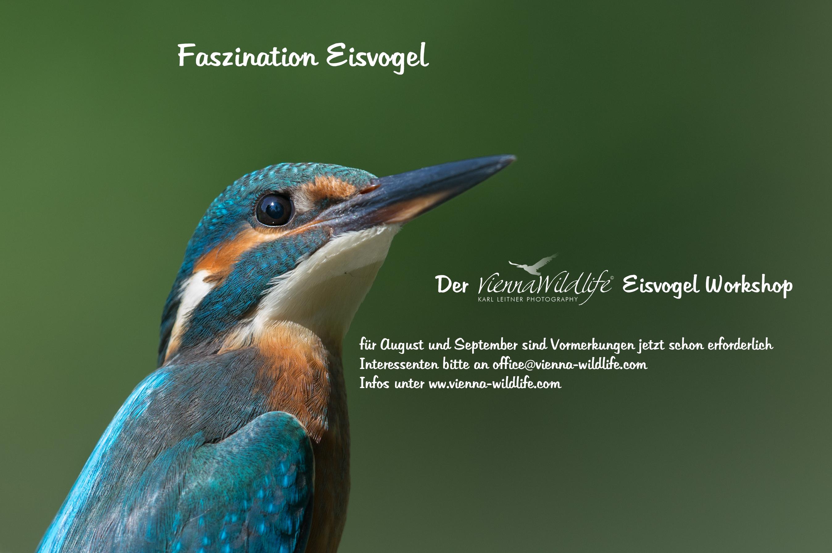 Vienna Wildlife Eisvogel-workshop
